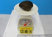 閖上産 赤貝バラ売り 2番玉〔約200g〕  本玉1個