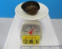 閖上産 赤貝バラ売り 3番玉〔約180g〕  本玉1個
