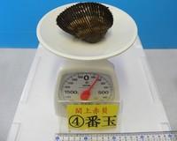 閖上産 赤貝バラ売り 4番玉〔約160g〕  本玉1個