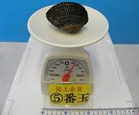閖上産 赤貝バラ売り 5番玉〔約140g〕 本玉1個