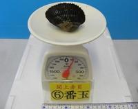 閖上産 赤貝バラ売り 6番玉〔約120g〕 本玉1個
