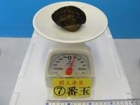 閖上産 赤貝バラ売り 7番玉〔約100g〕 本玉1個