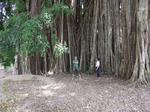 Acehの御神木