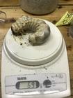 スマトラ幼虫
