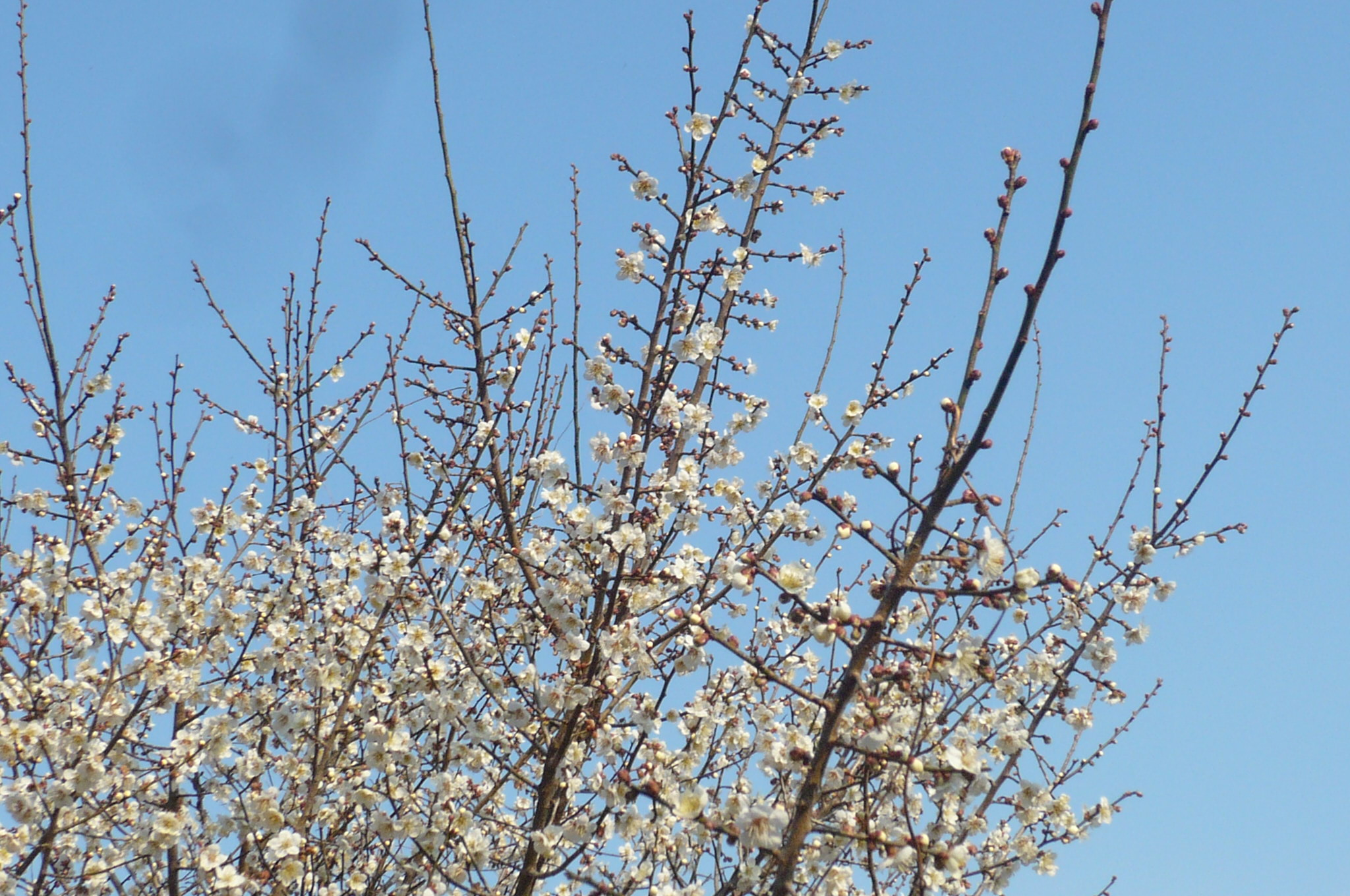 梅の花画像