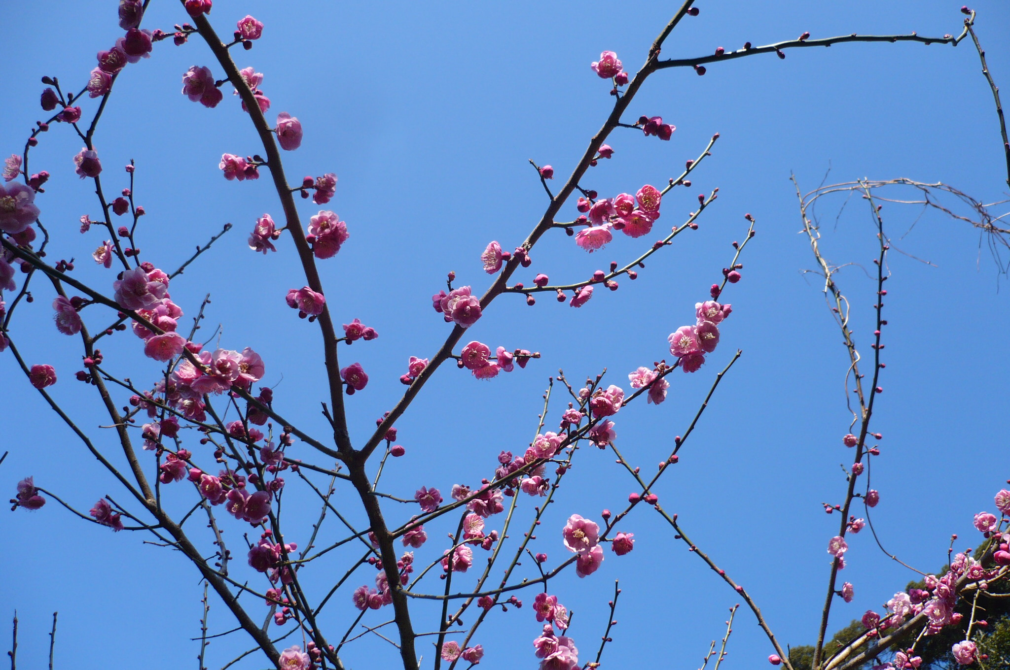 梅の花2画像