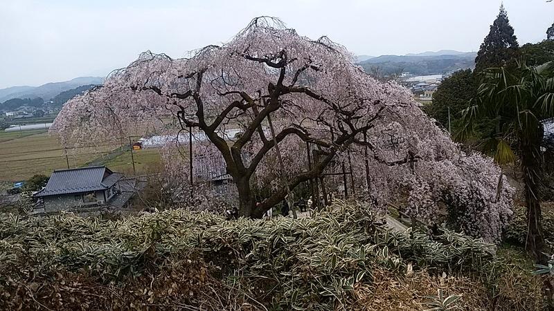 波佐見のしだれ桜(*_*)(^_^)/