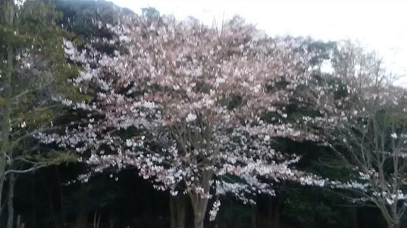 花高の桜???
