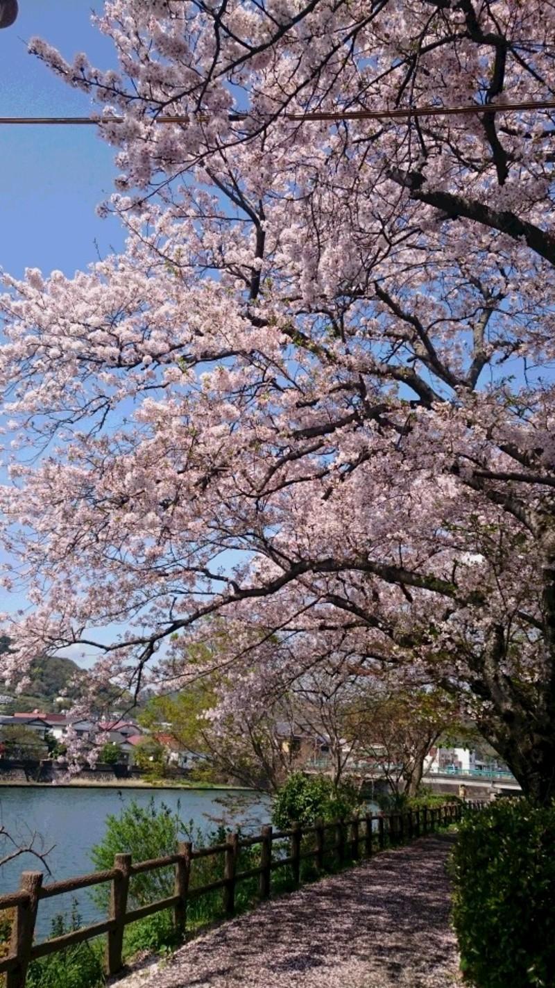 満開 散る桜