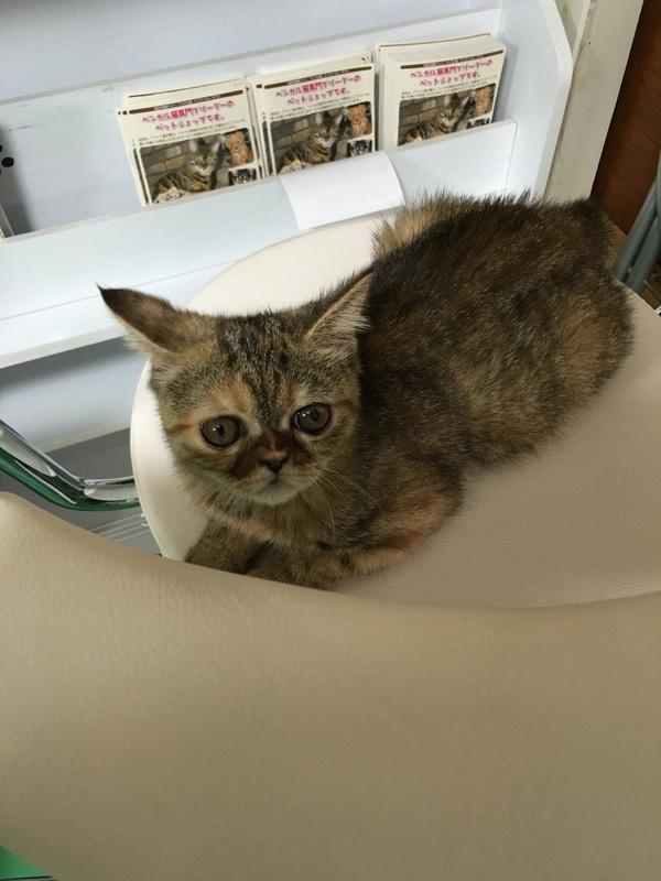 愛知県一宮市 猫カフェ ねこじゃらし 子猫販売、 名 …