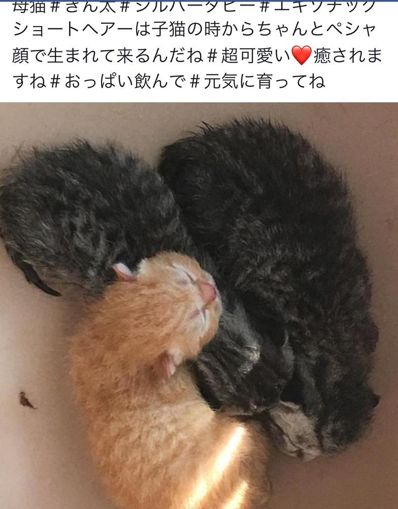 愛知県 一宮市の エキゾチックショート 子猫販売画像