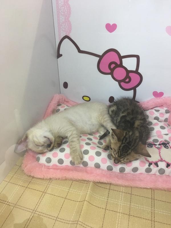 スノーベンガル子猫販売画像