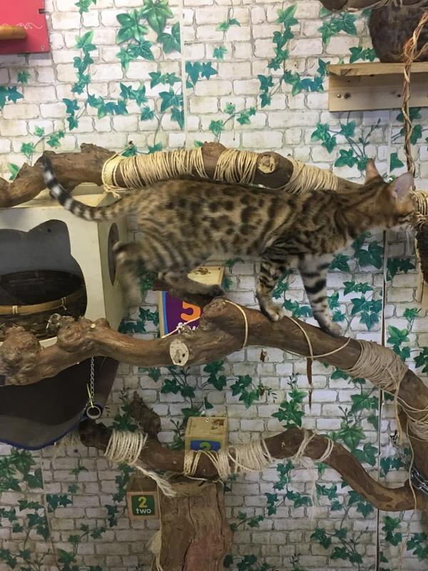 ベンガル猫画像