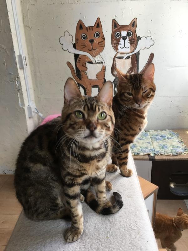 ベンガル子猫ちゃん画像
