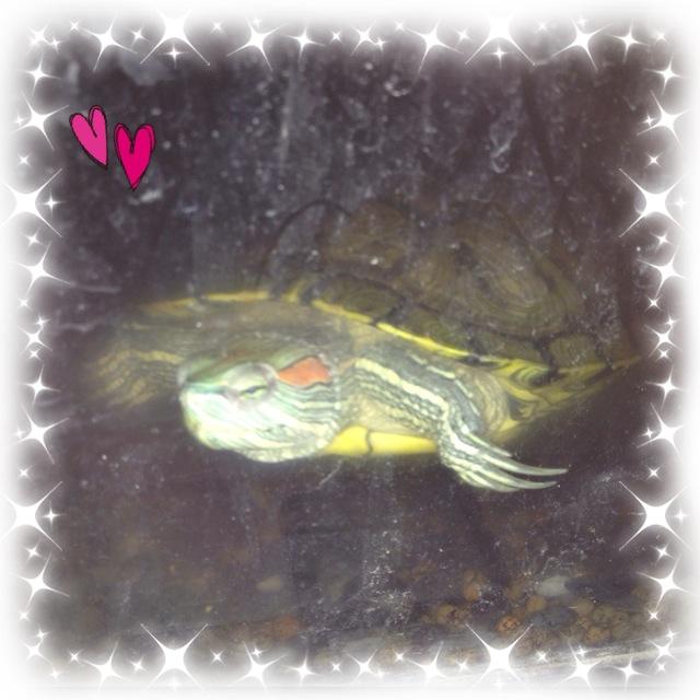 アカミミガメの画像 p1_21